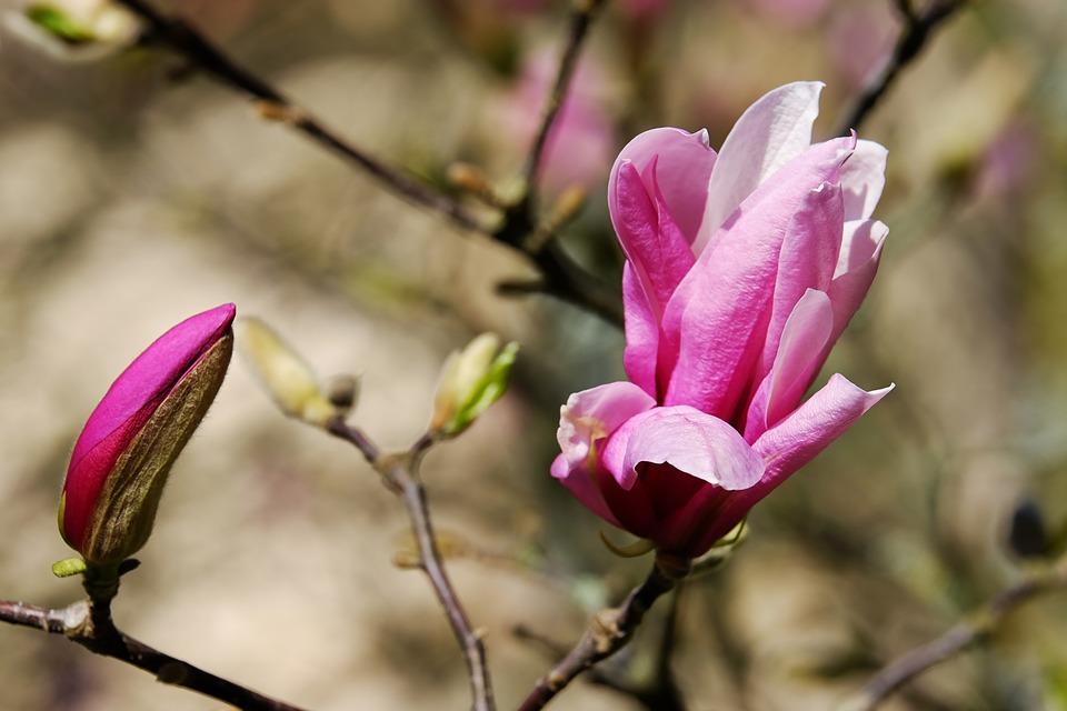 Ein wunderschöner Begleiter: die Magnolie (Symbolbild; Foto: pixabay.com / Couleur)