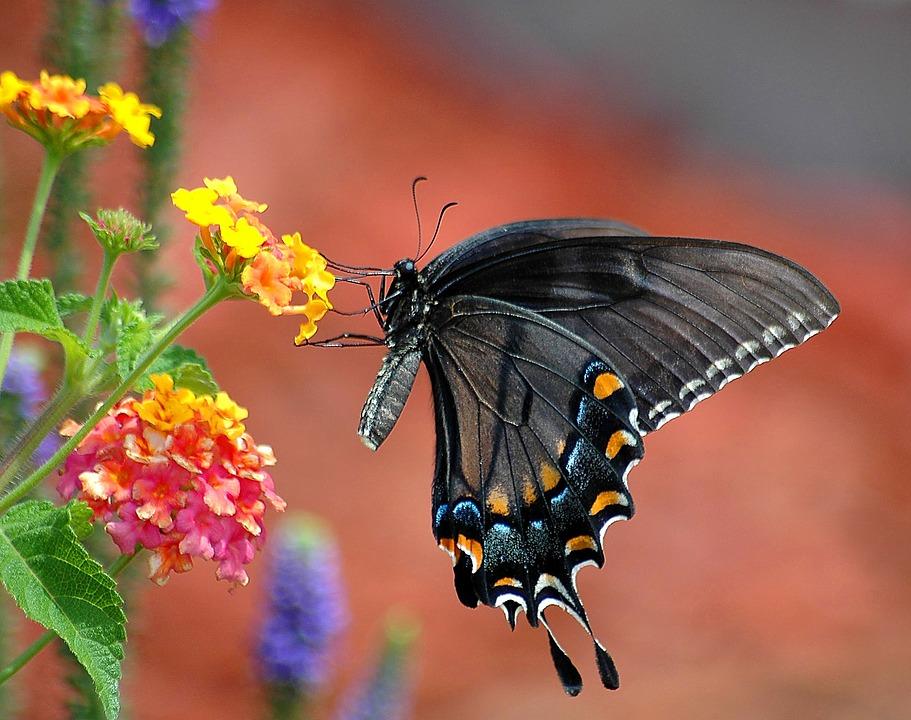 Ein schwarzer Schwalbenschwanz verweilt an einem Wandelröschen (Symbolbild; Foto: pixabay.com / paulbr75)