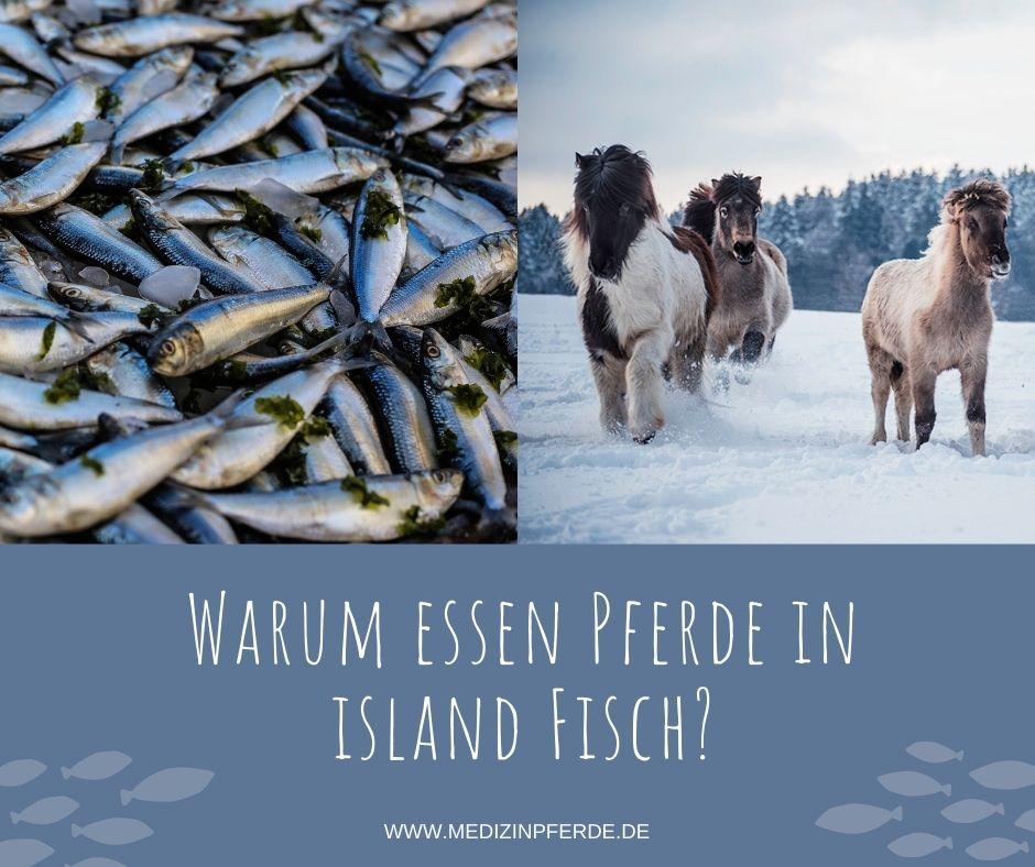 Warum essen Pferde in Island Fisch?