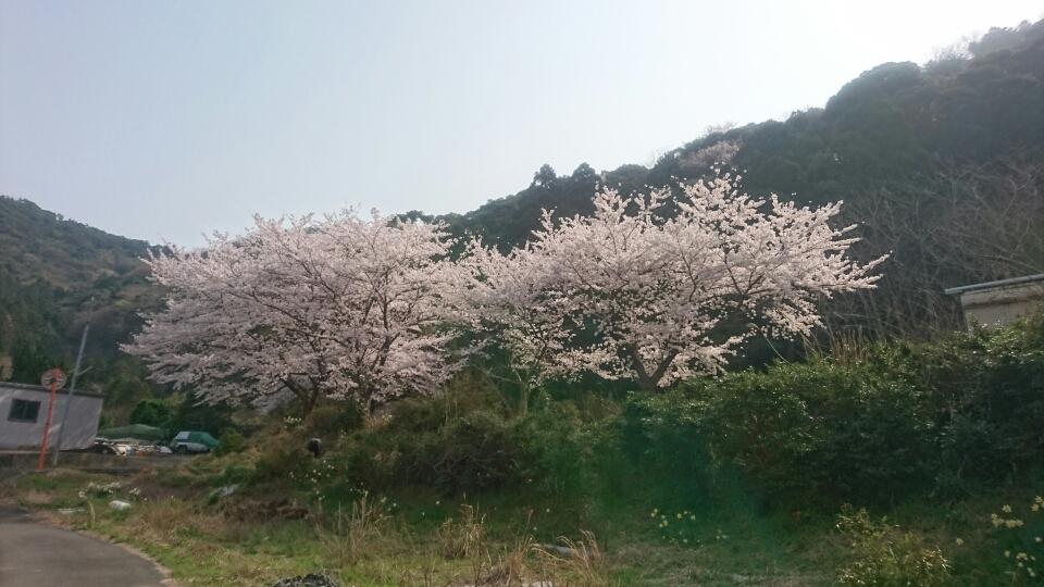 世久見の桜 満開 キレイ