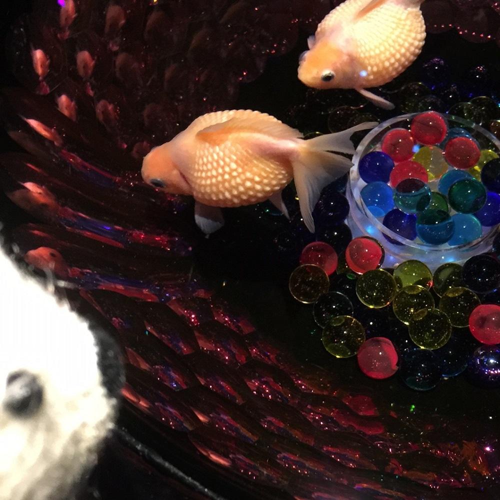 アートアクアリウムで金魚さんをみて