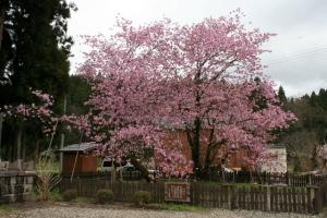 おすすめ観光スポット 極楽寺 野中桜