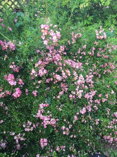 ガーデンに咲く薔薇です。