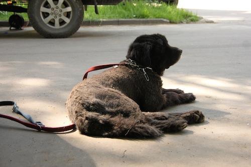 Stadthund Ceddy in Moskau