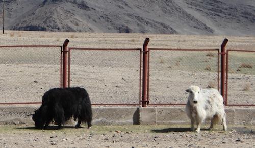 Yaks grasen am hohen Zaun