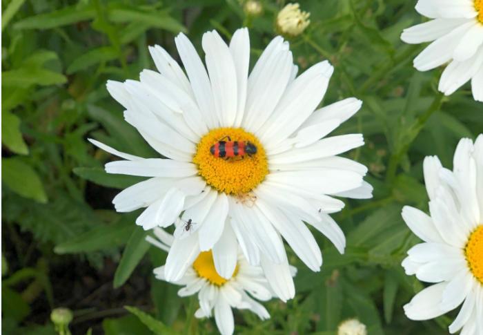 Der Bienenkäfer