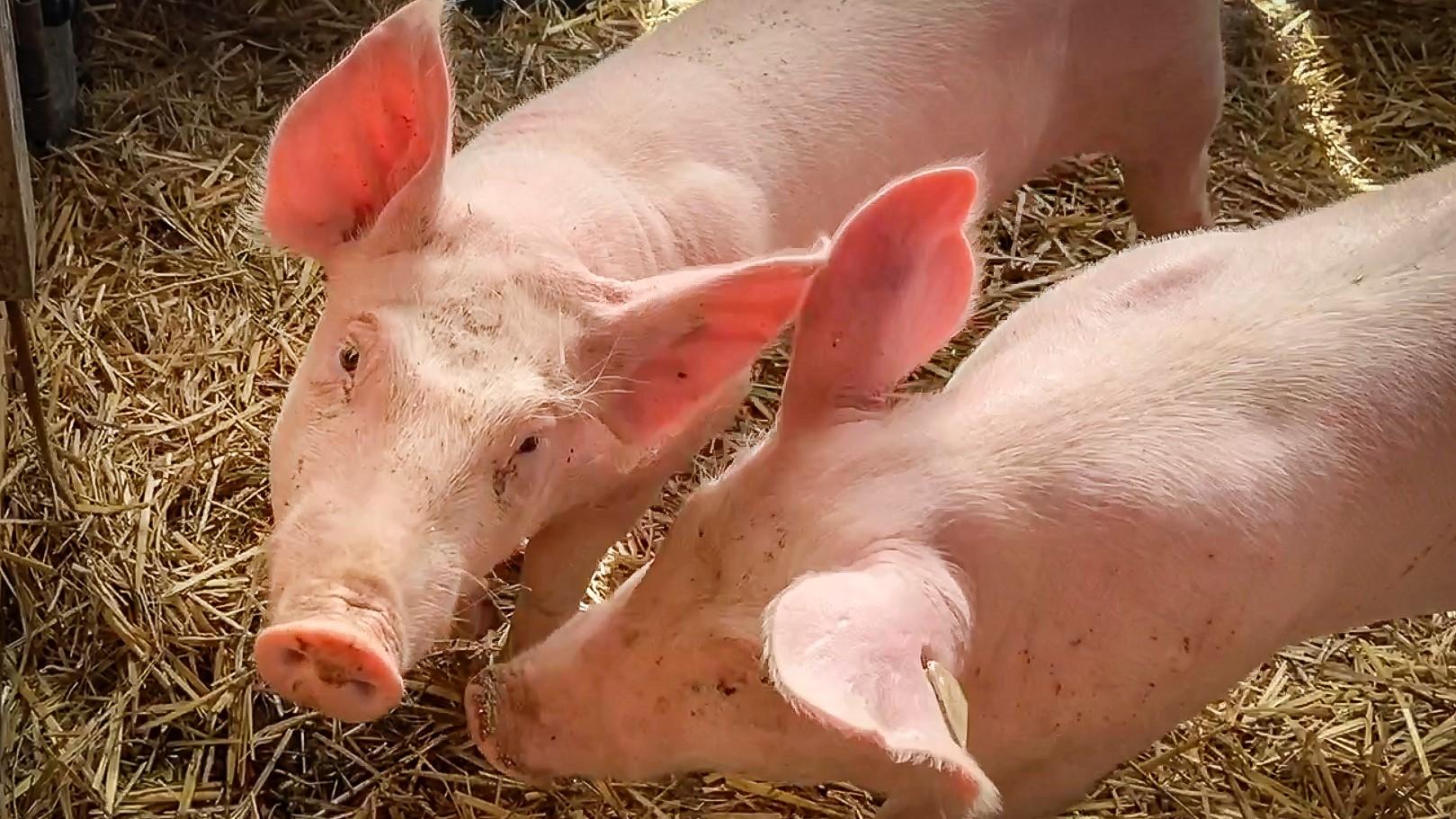 Rosarote Rasselbande – mit Vanessa im Schweinestall