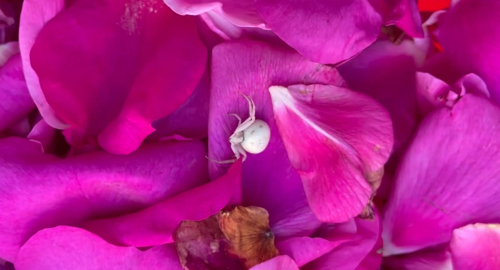 Die Krabbenspinne – das Chamäleon unter den Achtbeinern 