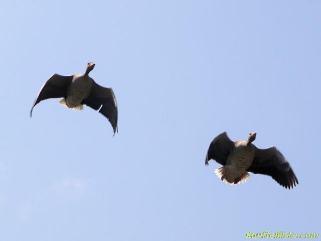 zwei Graugänse im Flug!