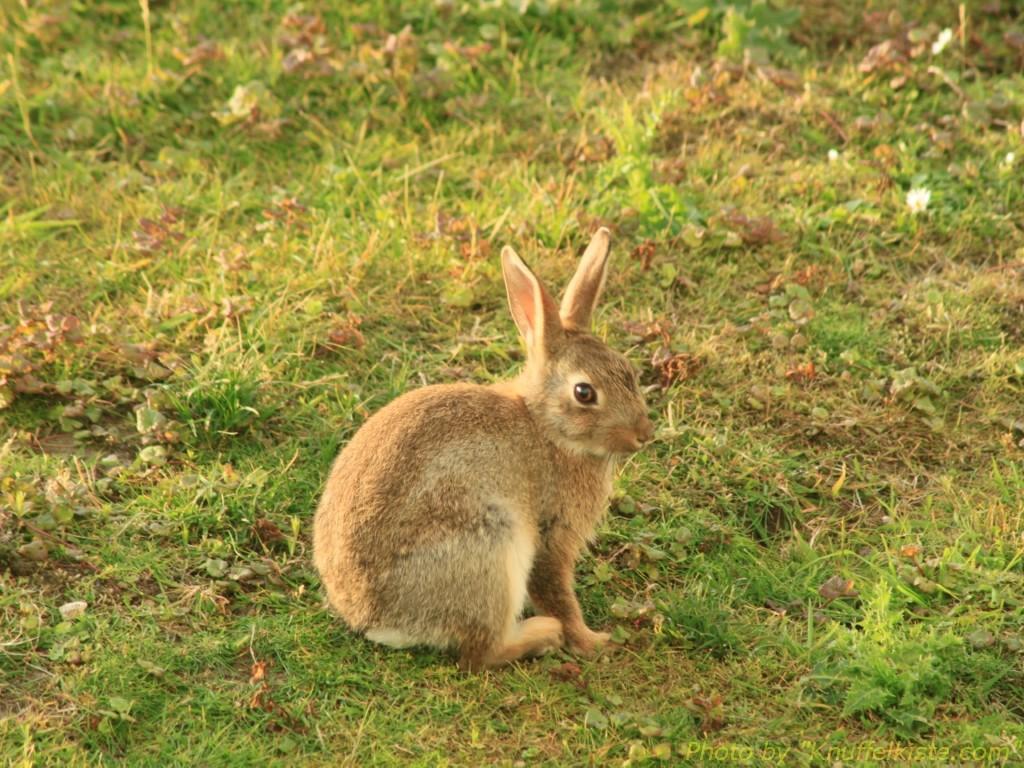 Kaninchen gibt es auf der gesamten Insel
