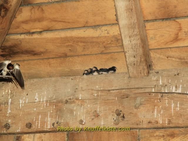 Schwalbenkinder im Nest im Innern der Burg