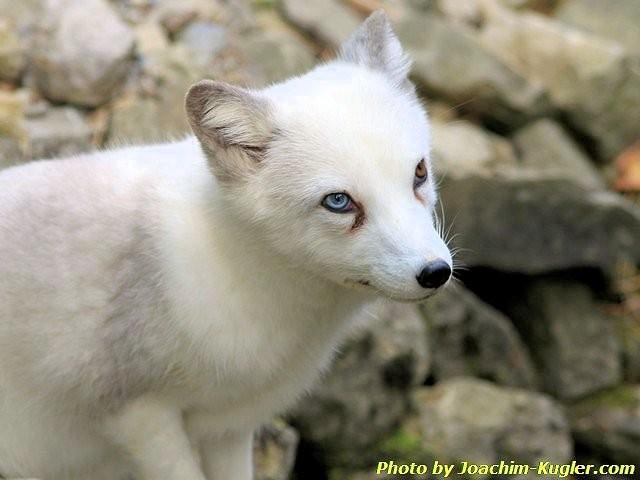 Junger Wolf, mit zwei versch. Augenfarben!