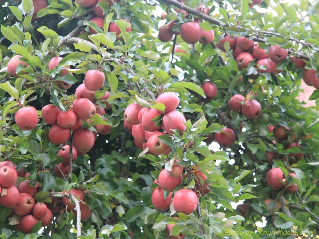 und Äpfeln im Park