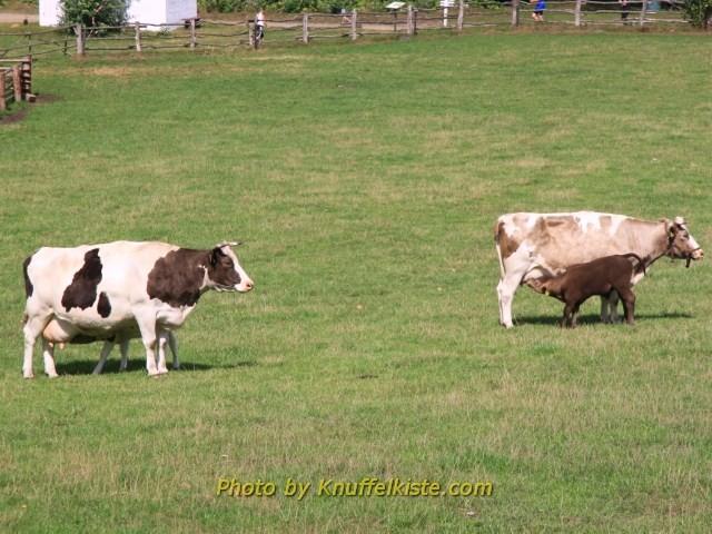 2 mal Kuh mit 2 mal Kälbchen!