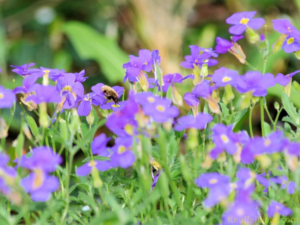 Biene im eigenen Garten April 2017