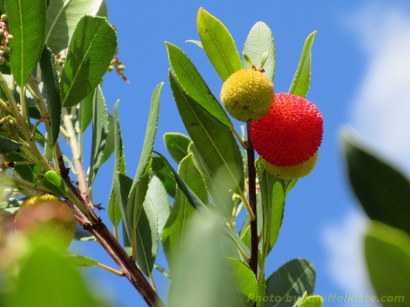 """nochmal der """"Erdbeerbaum"""""""