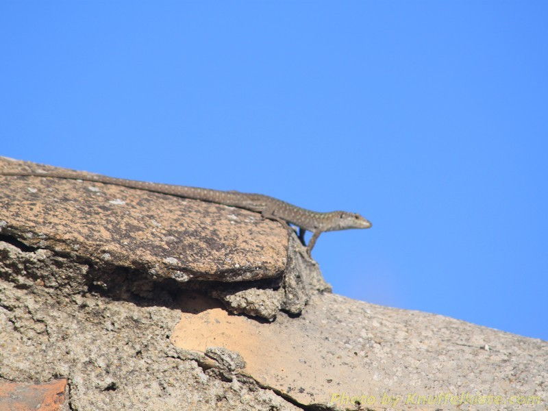 Eidechse auf der Rangerhütte