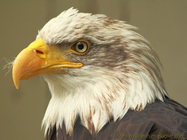 Weisskopfseeadler im Zoobereich