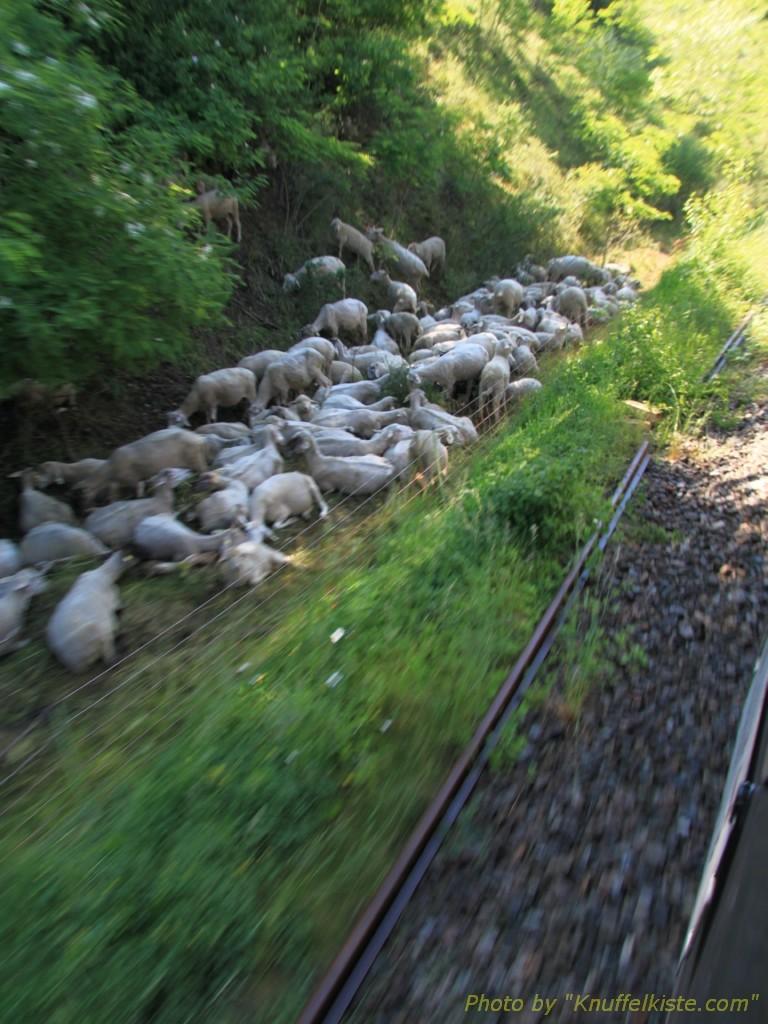 unterwegs,eine Schafherde