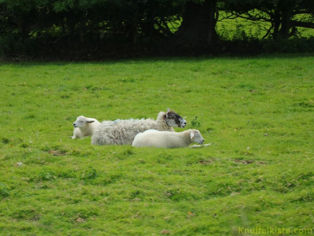 immer wieder Schafe unterwegs!