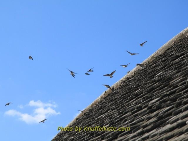 Hunderte Schwalben auf dem Dach