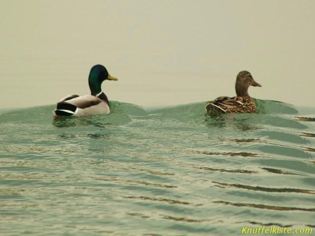 Entenpaar auf der Flucht vor mir