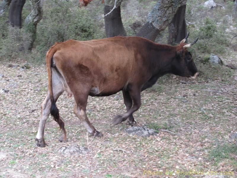 auch Kühe laufen umher
