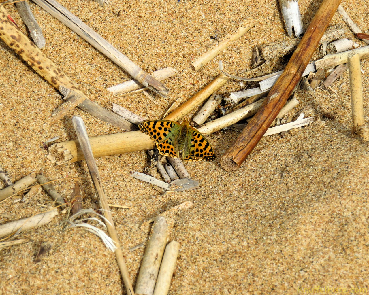 Schmetterling am Strand