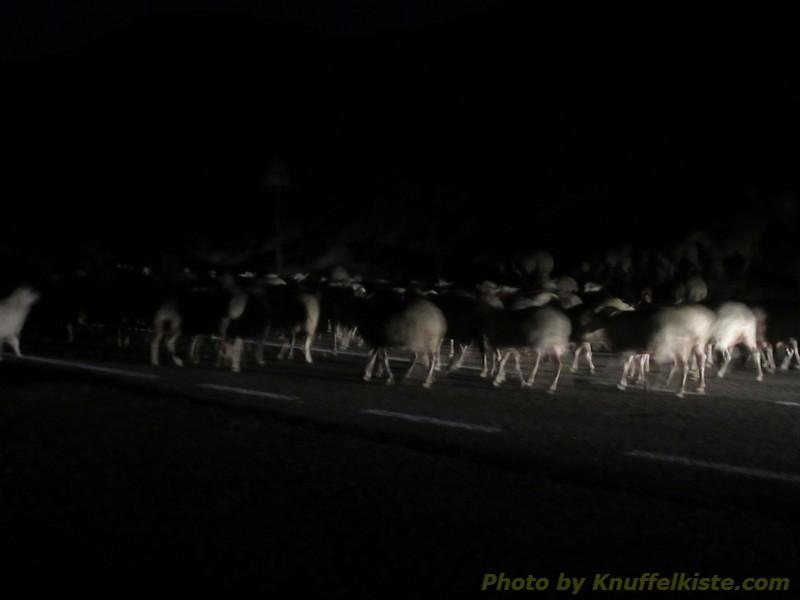 spät am Abend sind noch Schafherden unterwegs!