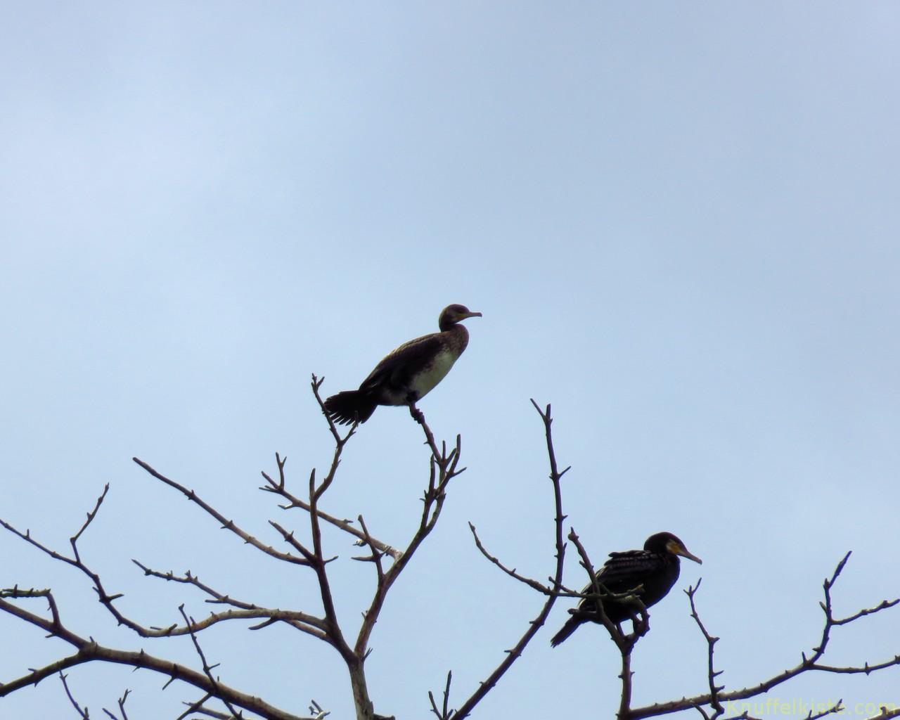 2 Kormorane im Baum