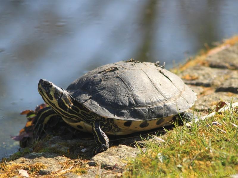 Wasserschildkröte beim Sonnen!