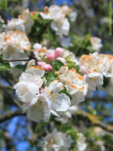 Obstbaumblüte überall