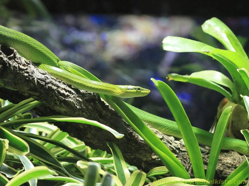 Schlange schön grün!