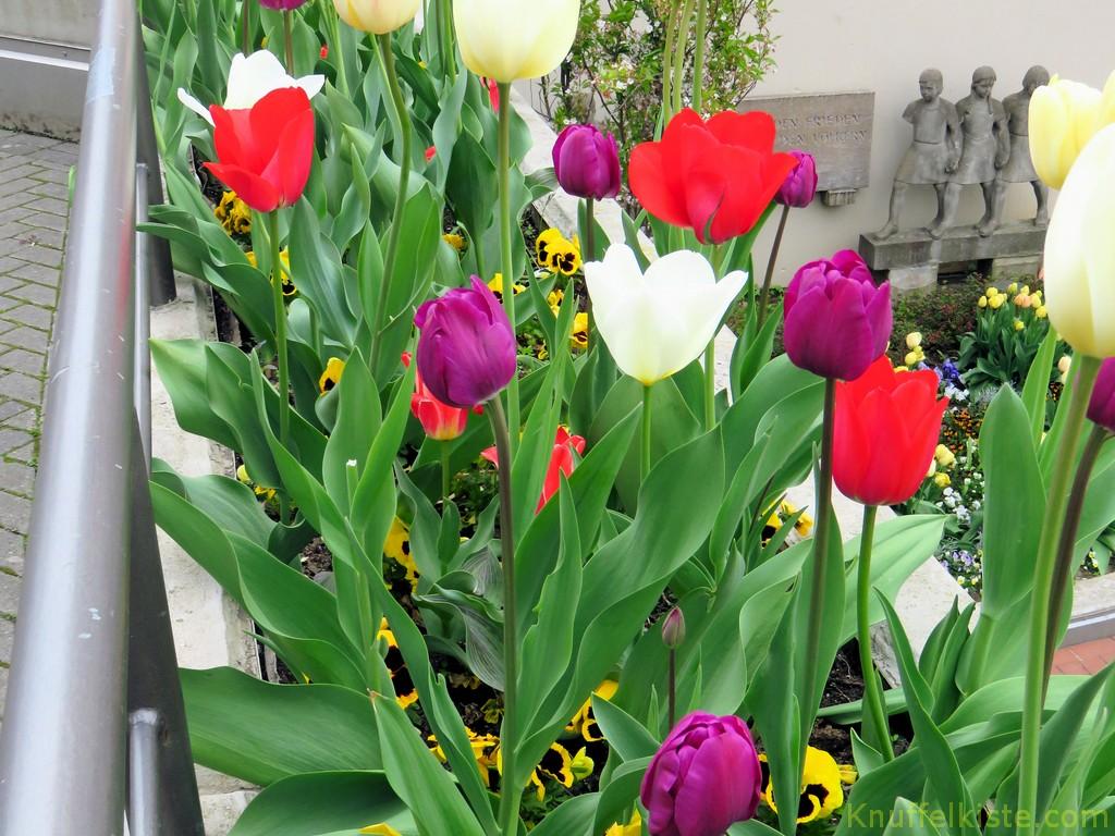 Tulpen an der Stadthalle