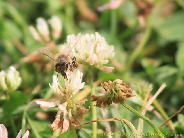Makroaufnahmen einer Biene