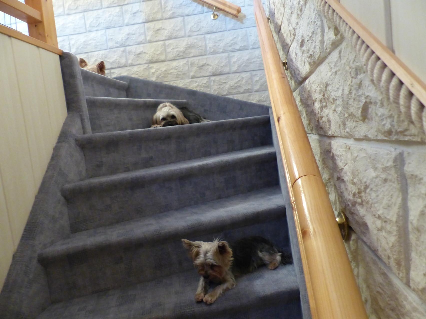 Eine Treppe voller Yorkies