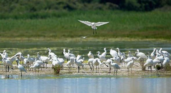 les oiseaux du Marquenterre baie de somme