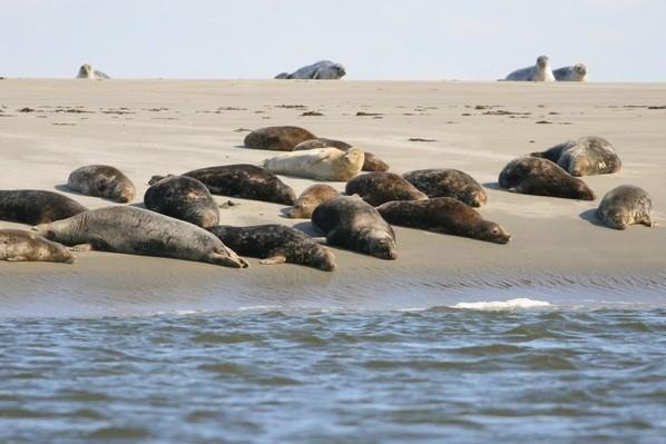 les phoques en mode bronzage sur la baie de somme
