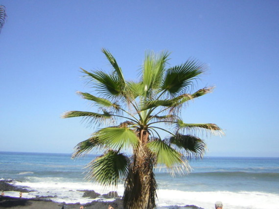 Palme am Terressita Strand von Teneriffa mit dem Meer im Hintergrund.