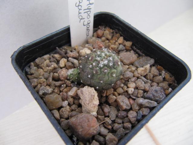 réf:666-1 Copiapoa hypogaea peau de lézard  (semis année 2010)