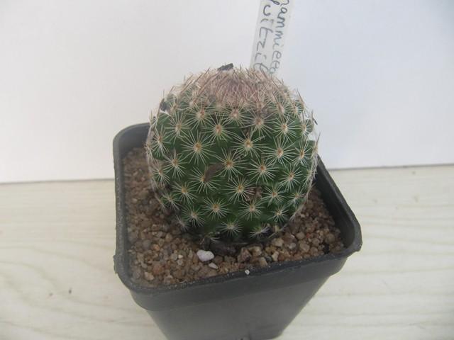 réf:798 Mammillaria  Huitzilopochtli