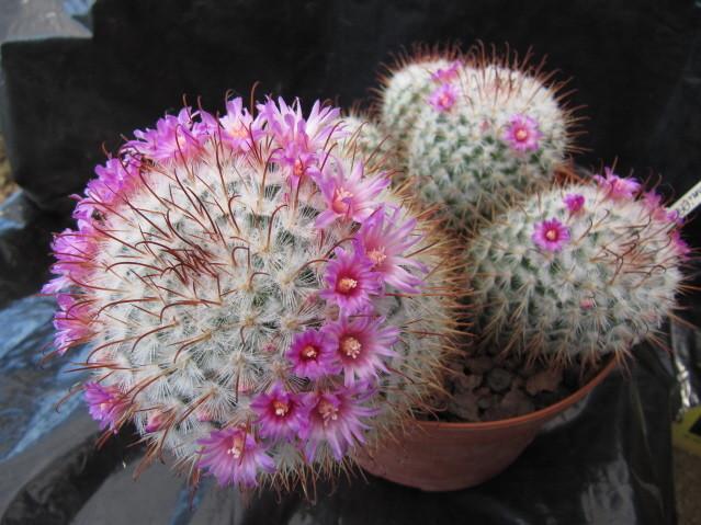 réf:301 Mammillaria bombycina
