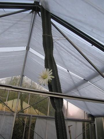réf:86-1 Cereus Peruvianus
