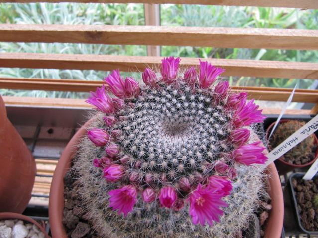 réf:304 Mammillaria hahniana