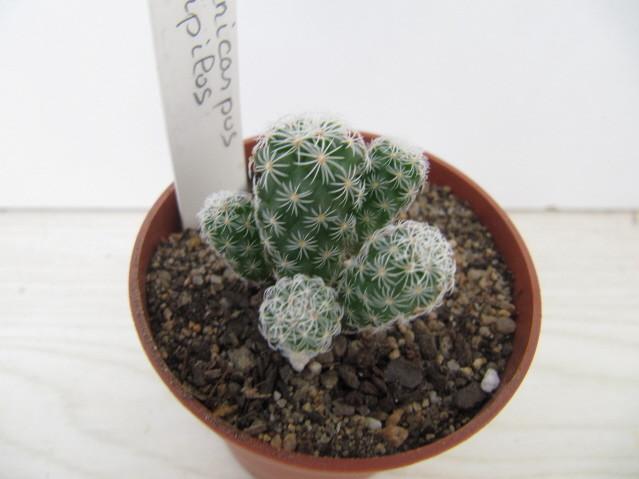 réf:592-3 Turbinicarpus Horripilus