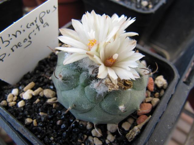 réf:588-1 Turbinicarpus sp negrita
