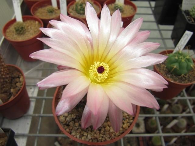 Notocactus Roseohiteus