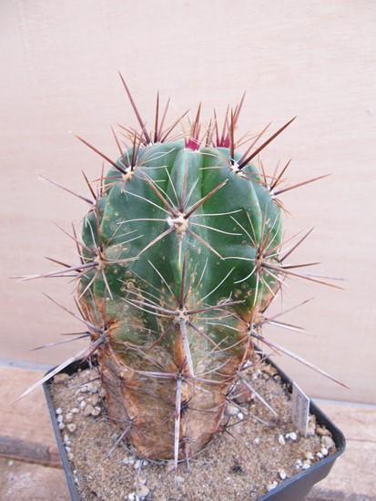 réf:230-1  Ferocactus Robustus