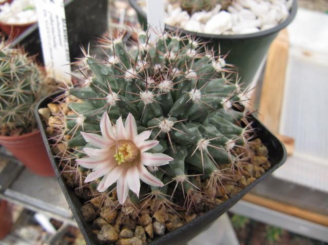 réf:322  Mammillaria durangicola