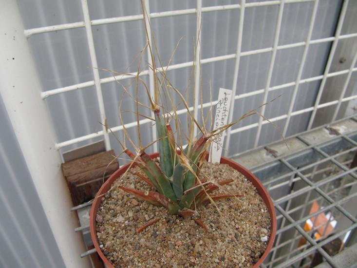 réf:281-5  Leuchtenbergia principis (semis année 2009) photo prise le 10-03-2018